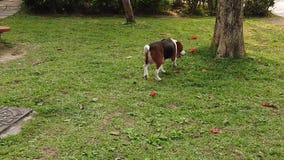 Beagle dog hunting slow motion
