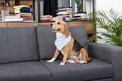 Free Beagle Dog In Grey Bandana Sitting On Sofa Stock Images - 98200734