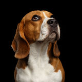 Beagle dog on isolated black background. Close-up head of Young Beagle dog looking on owner on isolated black background, front view Royalty Free Stock Photo