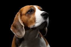 Beagle dog on isolated black background. Close-up portrait of Young Beagle dog looking up on isolated black background, front view Stock Photos