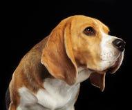 Beagle Dog Isolated on Black Background. Beagle Dog, Doggy, pet, Isolated on Black Background in photo studio Stock Images