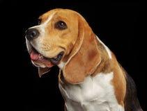 Beagle Dog Isolated on Black Background. Beagle Dog, Doggy, pet, Isolated on Black Background in photo studio Royalty Free Stock Images