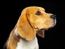 Beagle Dog Isolated on Black Background. Beagle Dog, Doggy, pet, Isolated on Black Background in photo studio Royalty Free Stock Photography