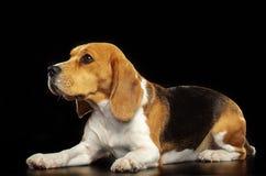 Beagle Dog Isolated on Black Background. Beagle Dog, Doggy, pet, Isolated on Black Background in photo studio Stock Photos