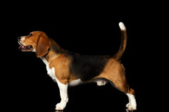Beagle dog on isolated black background. Young Beagle dog standing on isolated black background, side view Royalty Free Stock Photography