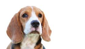 Beagle dog isolated on white bacground. Porttrait of a beagle dog isolated on white bacground Stock Photo