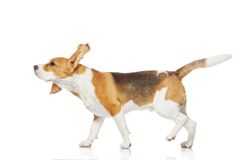 Beagle dog isolated on white background. Royalty Free Stock Photos
