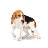 Beagle dog. Isolated on white background Royalty Free Stock Image