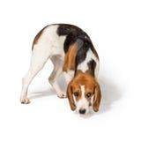 Beagle dog. Isolated on white background Stock Photo