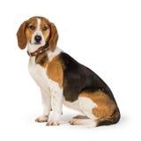 Beagle dog. Isolated on white background Stock Photography