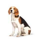 Beagle dog. Isolated on white background Royalty Free Stock Images