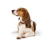 Beagle dog. Isolated on white background Stock Image