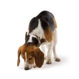Beagle dog. Isolated on white background Royalty Free Stock Photography