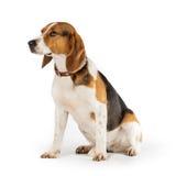 Beagle dog. Isolated on white background Royalty Free Stock Photos