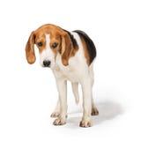 Beagle dog. Isolated on white background Royalty Free Stock Photo