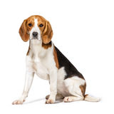 Beagle dog. Isolated on white background Stock Images