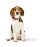 Beagle dog. Isolated on white background Stock Photos
