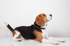 Beagle dog isolated on white background Royalty Free Stock Images