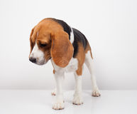 Beagle dog isolated on white background Stock Photography