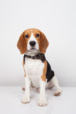 Beagle dog isolated on white background Royalty Free Stock Photo