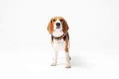 Beagle dog isolated on white background Stock Images
