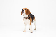 Beagle dog isolated on white background Stock Photography