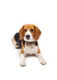 Beagle dog isolated on white background Royalty Free Stock Image