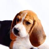 Beagle dog isolated on white background.  Stock Photo