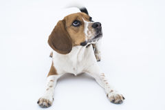 Beagle dog isolated on white. Beagle dog in down position looking up isolated on white Stock Images
