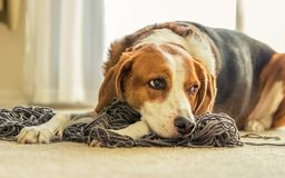 A Beagle dog laying down in a mess of tangled yarn. Beagle dog laying down in a mess of tangled yarn royalty free stock image