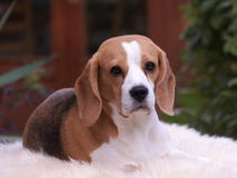 Beagle dog laying down Stock Photography