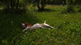 Beagle dog lie in grass. Playful Beagle puppy lay down and jump in grass stock video footage