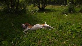 Beagle dog lie in grass