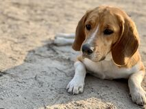 Beagle dog lies in the yard. Pet, family friend, thoroughbred dog in the fresh air. White-brown color of the dog