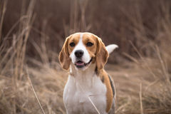 Beagle dog looking alert with tail up Royalty Free Stock Photo
