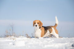Beagle dog looking alert Royalty Free Stock Photo