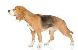 Beagle dog looking away. Royalty Free Stock Photo