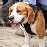 Beagle Dog Looking Bored in Black Harness Stock Images