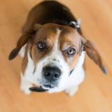 Beagle dog looking at camera Stock Photo