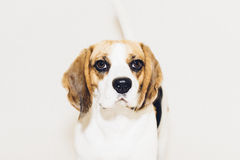 Beagle dog looking into camera on white background Royalty Free Stock Images