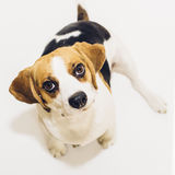 Beagle dog looking into camera on white background Stock Photos