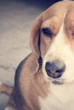Beagle dog looking Royalty Free Stock Photo