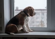 Beagle dog looking at the snow outside the window. Beagle dog sitting on the windowsill and looks at the snow outside the window Royalty Free Stock Images