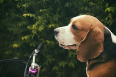 Beagle dog are looking to the left. Vintage tone royalty free stock photography