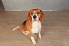 Beagle dog looking up. Dog sits on wooden floor with sad eyes Royalty Free Stock Image