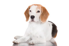 Beagle dog lying down Royalty Free Stock Images