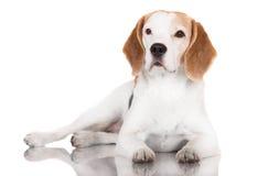Beagle dog lying down Royalty Free Stock Photo