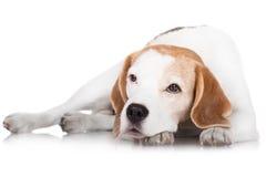 Beagle dog lying down Stock Images