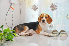Beagle dog lying on the floor in the room. Royalty Free Stock Photos