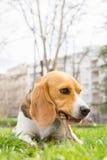 Beagle dog lying on grass Stock Photos